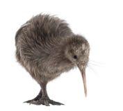 Norr öBrown Kiwi, Apteryxmantelli Arkivfoto