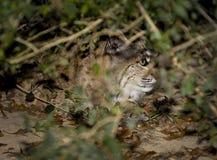 Norr - amerikan Bobcat Peeks Out av buskar Royaltyfria Bilder