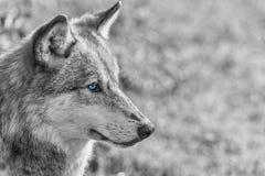 Norr - amerikan Gray Wolf med blåa ögon Royaltyfria Bilder