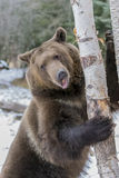 Norr - amerikan Ninja Bear arkivfoto