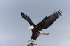 Norr - amerikan skalliga Eagle Landing royaltyfri bild