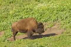 norr amerikansk bison Arkivbild