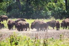 Norr - amerikansk bison i en flock på Greatet Plains arkivbilder