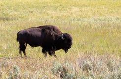 Norr - amerikansk bisonbuffel i fält Arkivfoto