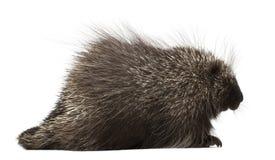 Norr - amerikansk Porcupine, Erethizondorsatum Arkivfoton