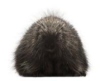 Norr - amerikansk Porcupine, Erethizondorsatum Royaltyfri Fotografi