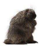Norr - amerikansk Porcupine, Erethizondorsatum Arkivbilder
