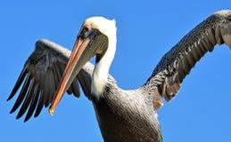 Norr - amerikansk vuxen brun pelikan som torkar dess vingfjädrar mot en ljus blå himmel royaltyfri bild