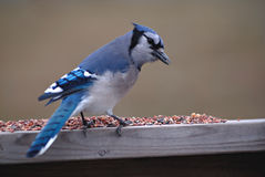 norr amerikanska blåa jay Arkivbilder