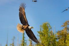 Norr - amerikanska skalliga Eagle i mitt- flyg arkivbild
