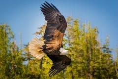 Norr - amerikanska skalliga Eagle i mitt- flyg royaltyfria bilder