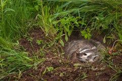 Norr - för Taxideataxus för amerikansk bäverskinn som brummanden lämnas från håla Arkivbild