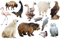 Norr - isolerade amerikanska djur Royaltyfri Foto