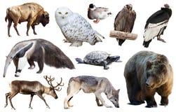 Norr - isolerade amerikanska djur Royaltyfria Foton