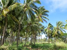 Norr kust av den Oahu palmträdlantgården Arkivbild