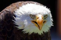 norr skallig örn för american Arkivfoton