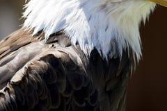 norr skallig örn för american Royaltyfria Bilder