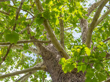 Norr - träd för amerikansk sykomor Arkivfoto