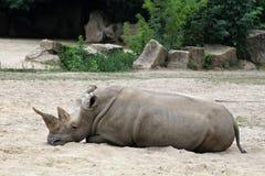 Norr vit noshörning Arkivfoton