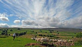 Norr Yorkshire Shepard och fårflock Arkivfoto
