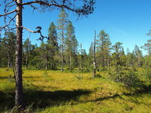 Norra Mora Vildmark Natural Reserve. Norra Mora Vildmark is one of Sweden's largest nature reserves. This wilderness is dominated by vast stretches of  mire  and Royalty Free Stock Image