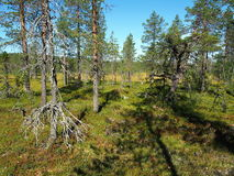 Norra Mora Vildmark Natural Reserve. Norra Mora Vildmark is one of Sweden's largest nature reserves. This wilderness is dominated by vast stretches of  mire  and Royalty Free Stock Photography