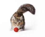 Norrman Forest Cat royaltyfri fotografi