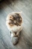 Norrman Forest Cat Fotografering för Bildbyråer