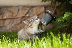 Norrman Forest Cat Arkivfoton