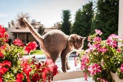 Norrman Forest Cat Arkivfoto