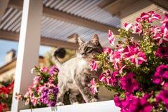 Norrman Forest Cat Arkivbild
