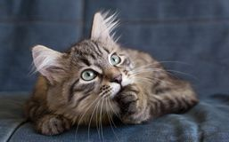 Norrman Forest Cat Royaltyfri Bild
