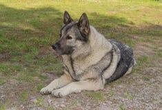 NorrmanElkhound grå färger arkivfoto
