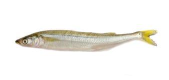 Norsfisk på en ljus bakgrund Royaltyfri Bild