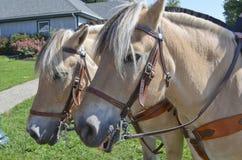 Norsk fjord horse Royaltyfria Bilder
