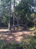 norska trän Arkivbild