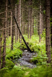 norskt trä Arkivbild