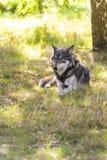 Norteamericano Gray Wolf, Canis Lupus Fotos de archivo libres de regalías