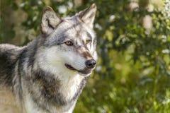 Norteamericano Gray Wolf, Canis Lupus Fotos de archivo