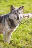 Norteamericano Gray Wolf, Canis Lupus Imagen de archivo
