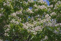 Nortern catalpa tree in blosson Stock Photo