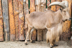 North African barbary sheep. With large horns Stock Images