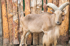 North African barbary sheep. With large horns Royalty Free Stock Image
