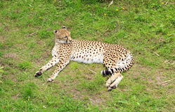 North African Cheetah Stock Photos