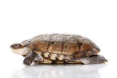 North African helmeted turtle Stock Photography