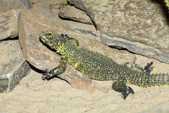 North African lizard, Bell's dabb lizard,Uromastyx acanthinura Royalty Free Stock Photo