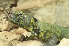 North african occelated lizard Stock Photography