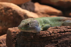 North african occellated lizard Stock Image