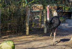 North african ostrich walking in the sand, big male bird, tropical and critically endangered bird specie. A North african ostrich walking in the sand, big male stock images