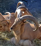 North African Tahir Goat. Stock Images